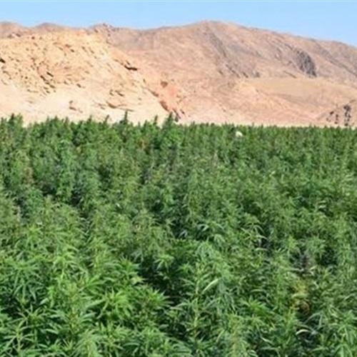 صدى العرب: مكافحة المخدرات.. ضبط مزرعة بانجو بجنوب الأقصر